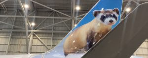 Frontier Airlines Welcomes Wellington the Black-Footed Ferret to its Fleet